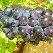 Продам виноград и саженцы