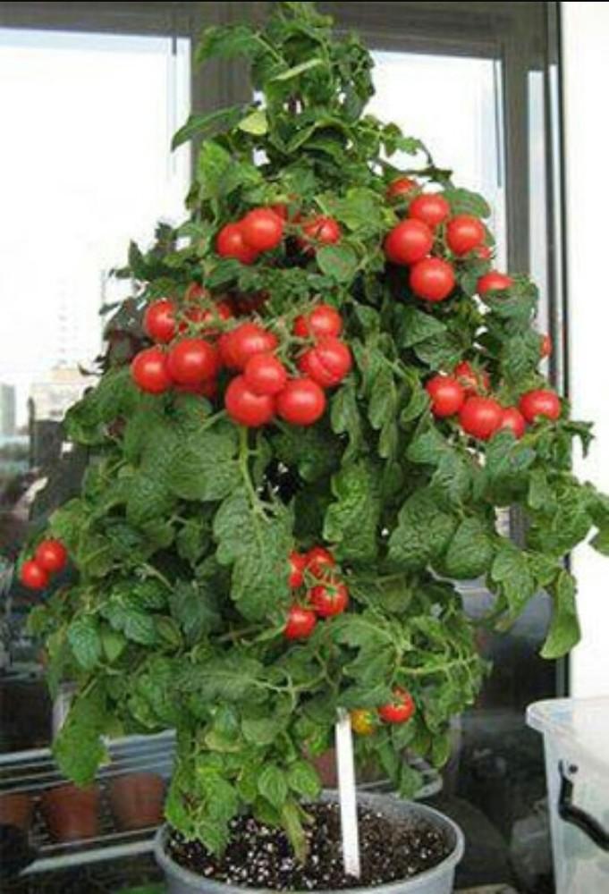 Зимнее выращивание томатов 26