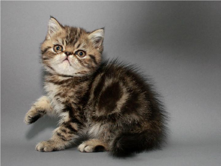 Экзотческий мальчик (котёнок) фото №1