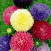 Астра художественная смесь расцветок