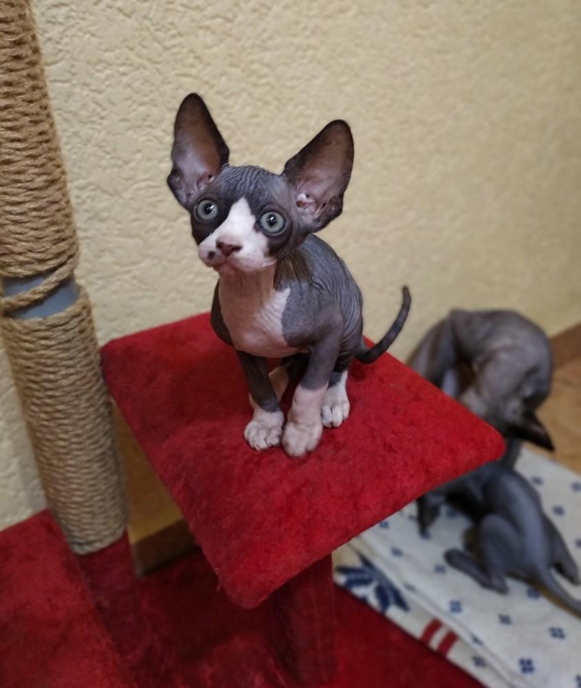 Канадский сфинкс котята фото №1