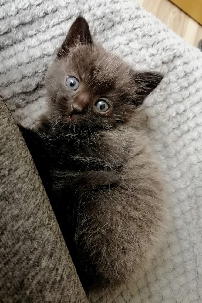 Британське кошеня фото №1